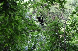 Des singes hurleurs se moquent de nous alors que nous cherchons notre chemin dans la jungle...